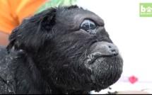 Insolite: Une chèvre avec un seul œil et une seule oreille a vu le jour en Inde