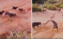 Insolite : 5 chiens s'attaquent à un serpent, le combat est épique, regardez