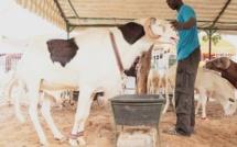 """Il refuse de vendre son mouton """"ladoum"""" à 52 millions FCFA"""