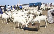 Insolite: Il vole un troupeau et le brade à...5000 FCfa par tête