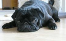 Allemagne: Le chien d'une famille saisi par les huissiers pour recouvrer ses dettes