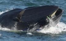 VIDEO - Afrique du Sud : une baleine avale un plongeur avant de le recracher vivant