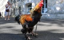 Un coq accusé de nuisance sonore, gagne son procès