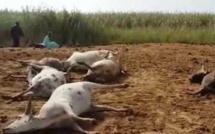 VIDEO - Ses 9 bœufs morts, cet éleveur tombe en transes