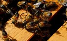 Kaffrine: Les abeilles empêchent l'enterrement d'un corps