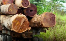 VIDEO - La Gambie a exporté plus de 300 000 tonnes de bois venant...du Sénégal vers la Chine !