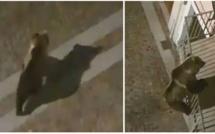 Un ours escalade un balcon pour entrer dans un appartement au deuxième étage en Italie