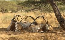 Affaire des gazelles Oryx: Pourquoi autant d'acharnement ? (Par Mamadou Diallo)