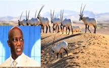 VIDEO - Révélations du Ministre Serigne Mbacké Ndiaye sur le scandale des gazelles Oryx (Vidéo)