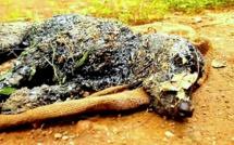 Ce chien était tombé dans une cuve de goudron chaud ! Mais quand ces gens l'ont trouvé, quelque chose de miraculeux s'est produit...