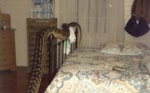 Cette femme a été réveillée en pleine nuit par un python de 4,9 mètres
