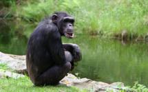 Un homme saute courageusement dans l'enclos pour sauver le chimpanzé